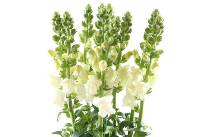 <h4>Antirrhinum Opus White</h4>