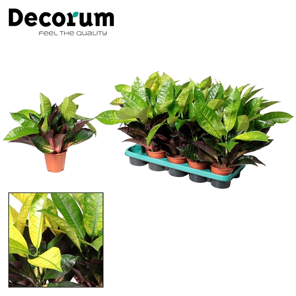 <h4>Croton Mrs. Iceton kopstek 3-5pp (Decorum)</h4>
