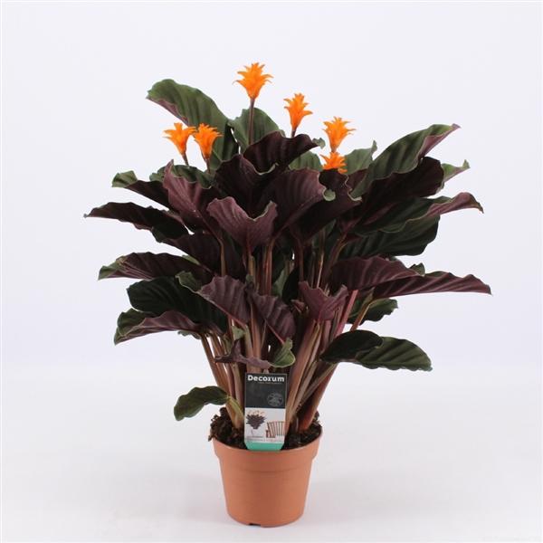 <h4>Calathea Crocata Candela 5/6 DECORUM</h4>