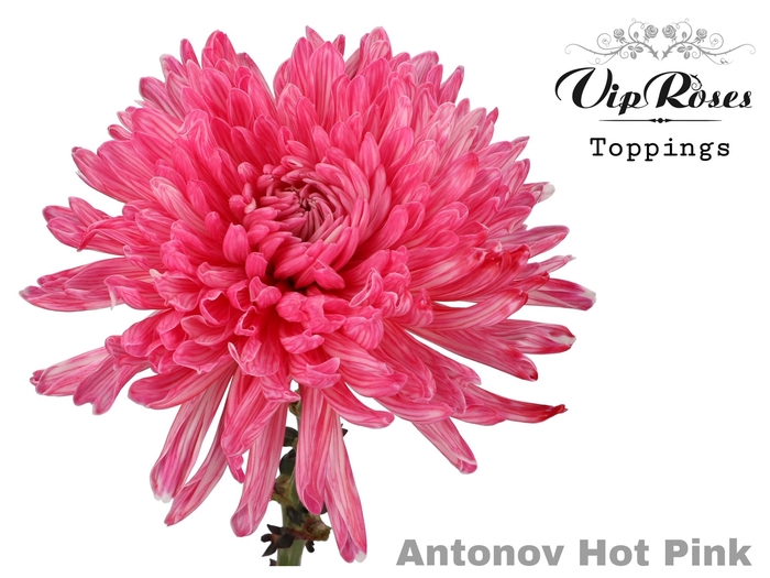 CHR G ANTONOV HOT PINK