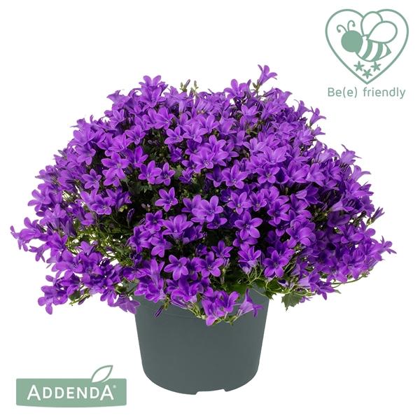 <h4>Campanula Ambella Intense Purple</h4>
