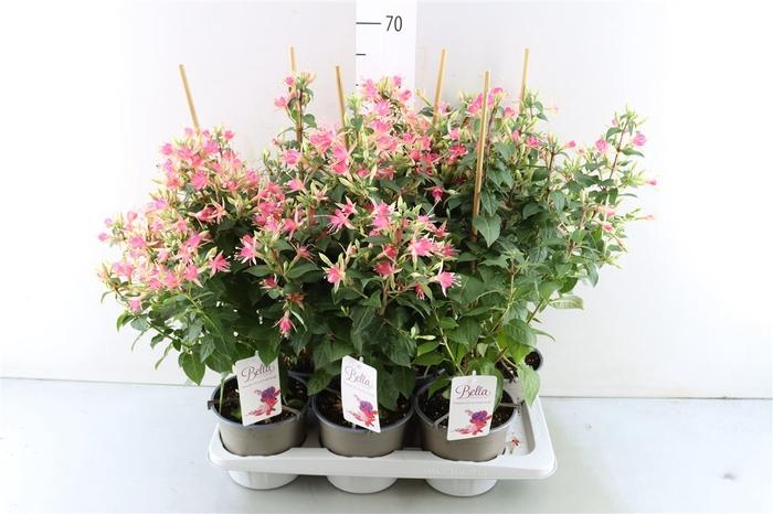 <h4>Fuchsia 'walz Jubelteen'</h4>