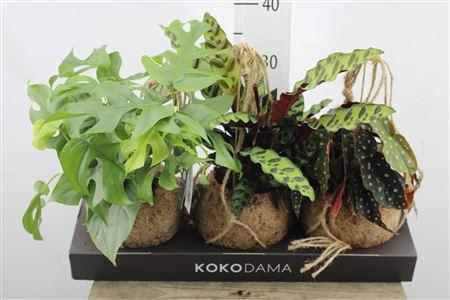 <h4>Monstera Dream Mix Kokodama</h4>