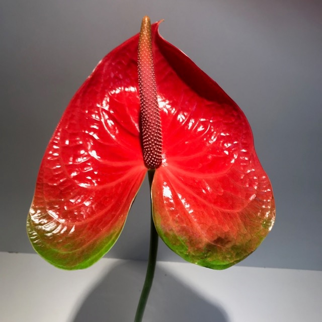 <h4>Anthurium Spice Red/Green Large</h4>