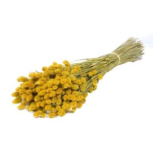 Phalaris yellow craft
