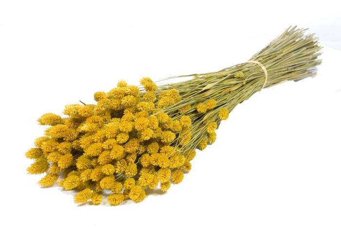 <h4>Phalaris yellow craft</h4>
