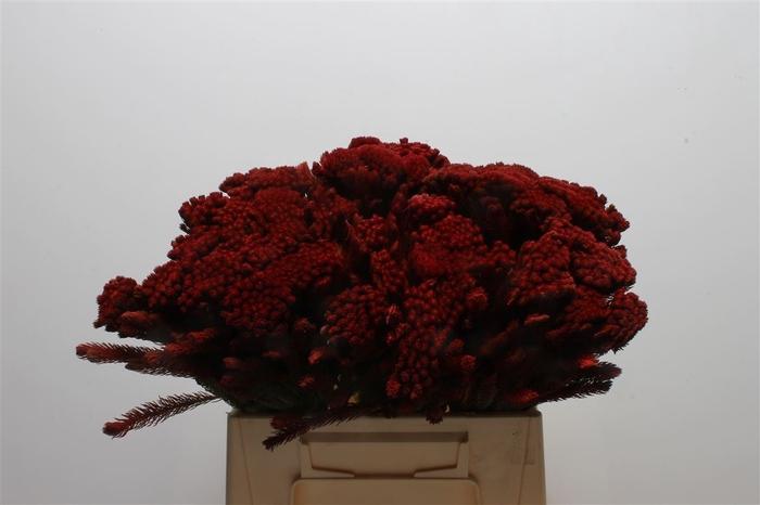 Kaaps Brunia Albiflora Red