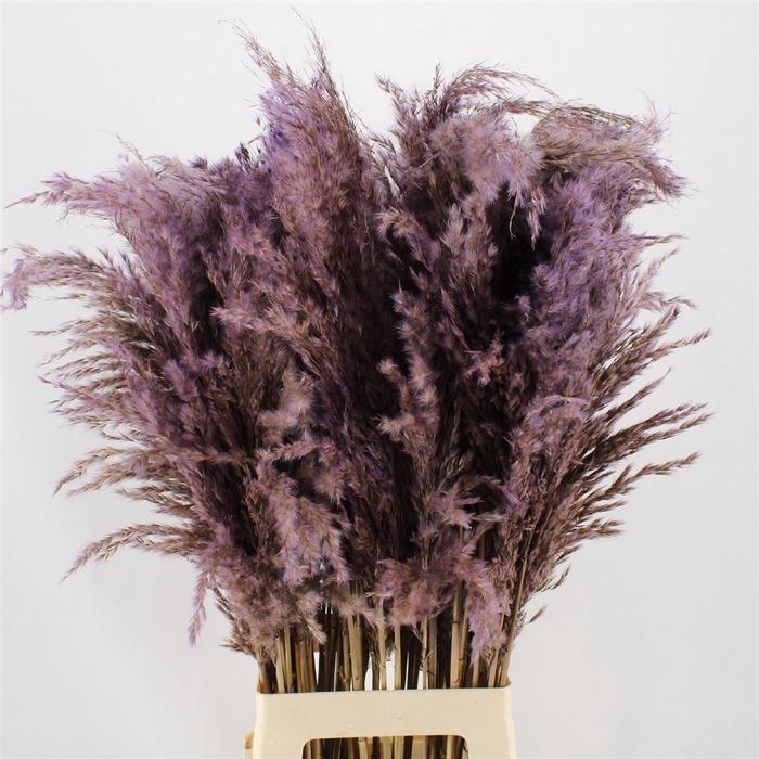 <h4>Pampas Lavender</h4>