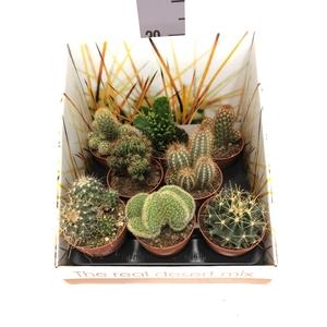 Cactus mix 8,5Ø 22cm RD03
