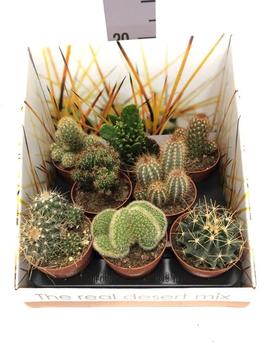 <h4>Cactus mix 8,5Ø 22cm RD03</h4>