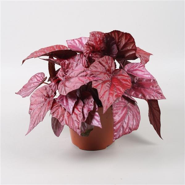 <h4>Begonia Beleaf Inca Flame</h4>
