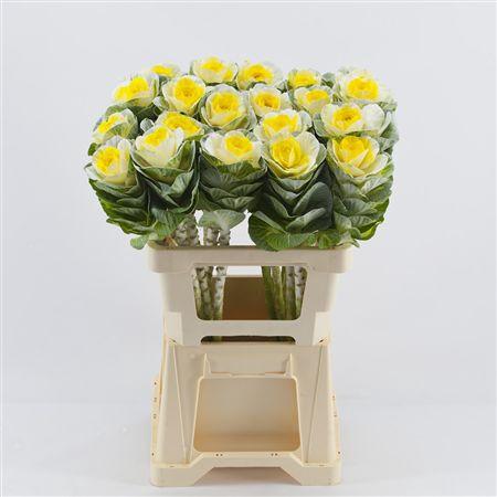 <h4>Brassica White-yellow</h4>