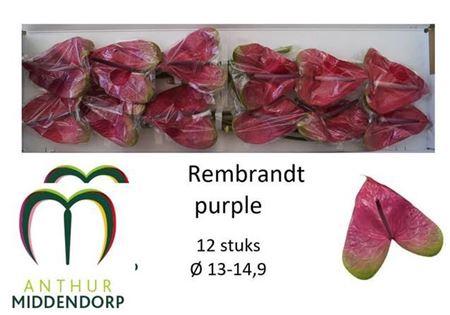 <h4>Anth A Rembr Purple</h4>