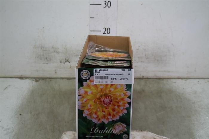 <h4>Bol Dahlia Peaches And Cream 10 Zakjes X1</h4>