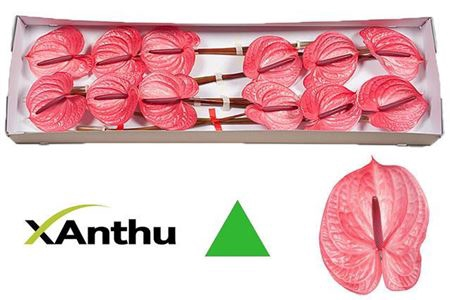 <h4>ANTH A CANDY X12</h4>