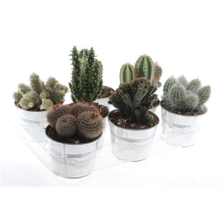 <h4>Cactus Gemengd Zink</h4>