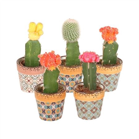 <h4>Cactus Gymnocalycium Mix Pot Ø5,5cm In Ø7cm Mosaïc</h4>