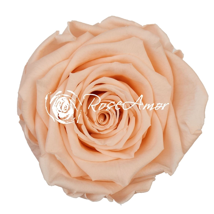 <h4>PRESERVED ROSA LL PEA 99</h4>