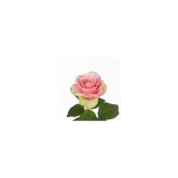 <h4>Rosa Gr. La Belle</h4>