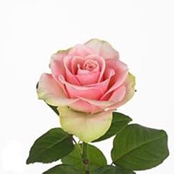 Rosa Gr. La Belle