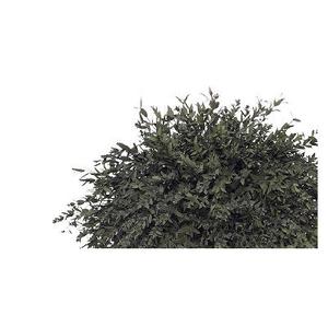 Eucalyptus Parvifolia Green