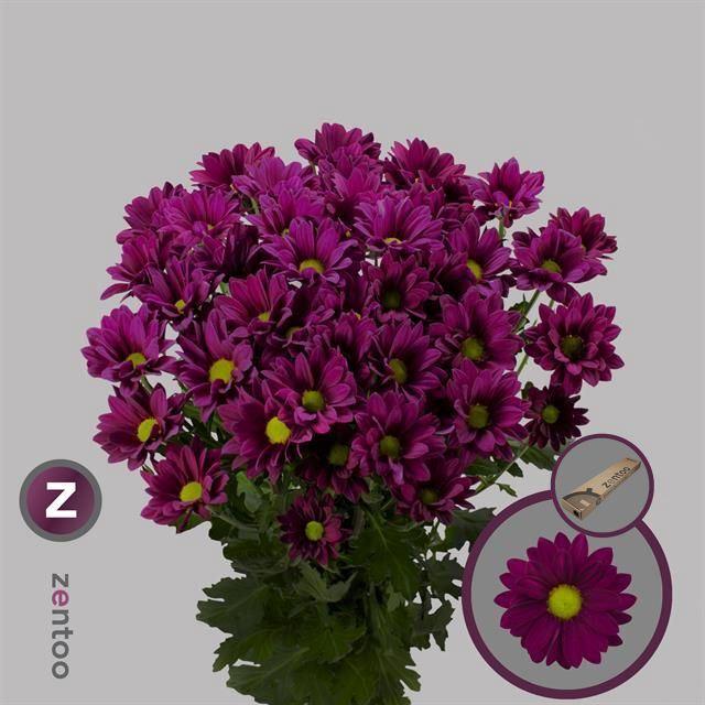 <h4>Chrysanthemum TR 'Purple Star'</h4>