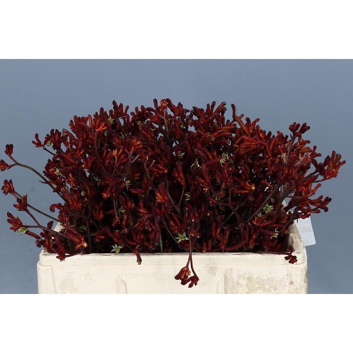 <h4>Anigozanthos Red Gem</h4>