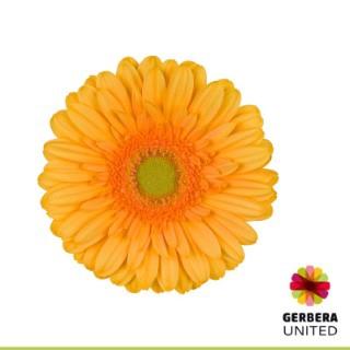 <h4>Gerbera Mango</h4>