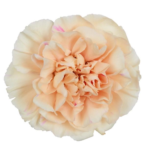 <h4>Dianthus st. Apple Tea</h4>