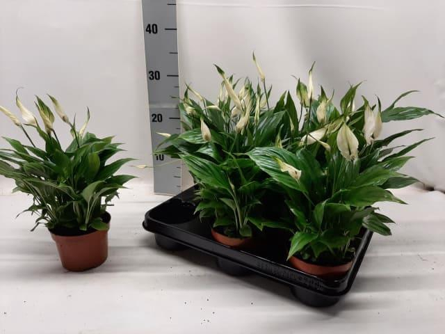 <h4>Spathiphyllum Chopin 10,5Ø 30cm 8+ kwiatów</h4>