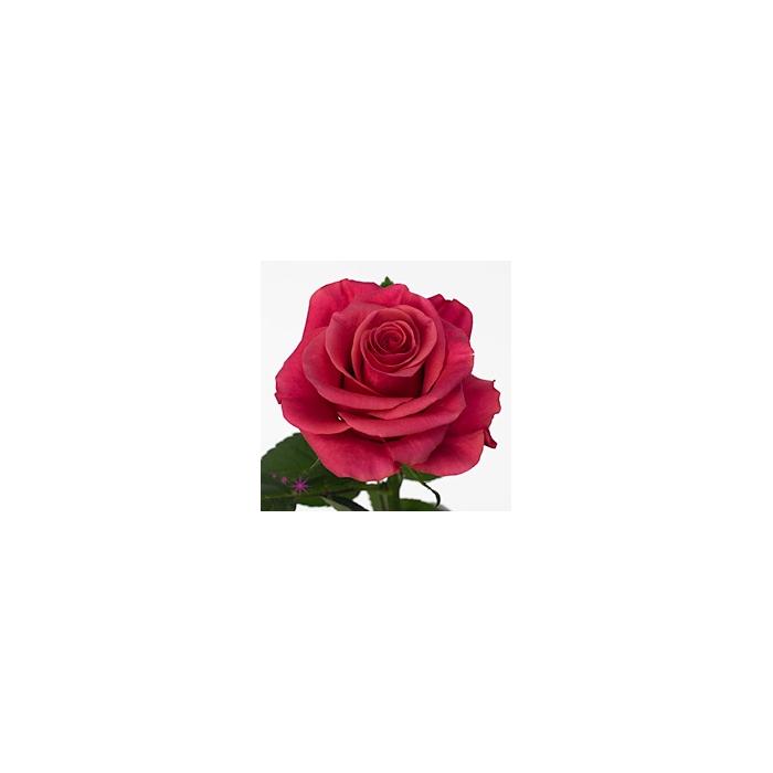 <h4>单头玫瑰 塔卡奇</h4>