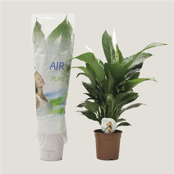 <h4>Spathiphyllum Largo ASP</h4>