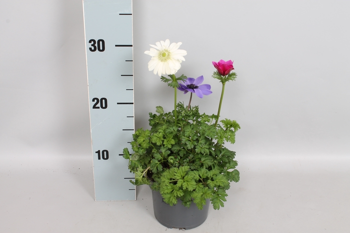 Anemone Coronaria 13 cm Trio