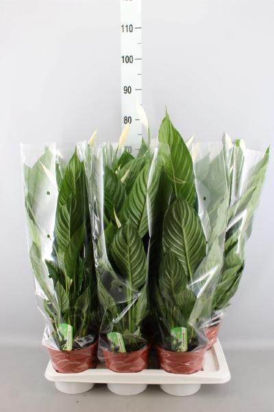 <h4>Spathiphyllum  'Verdi'</h4>