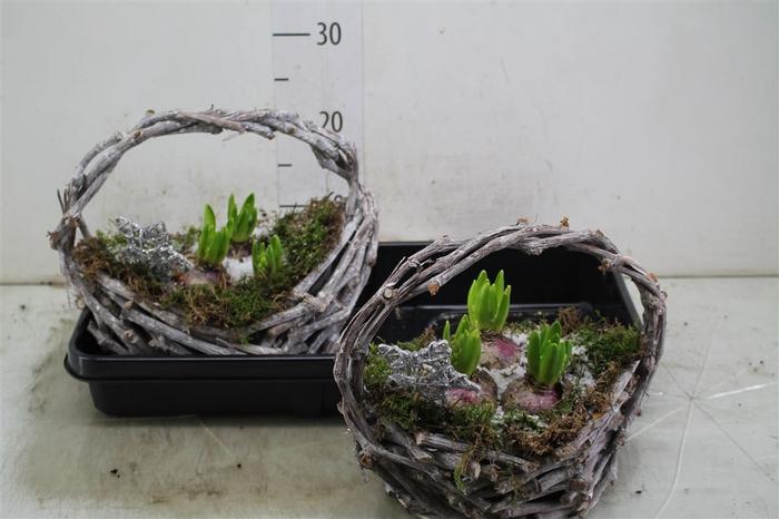 <h4>Arr Hyacinth In Rieten Hengselmand</h4>