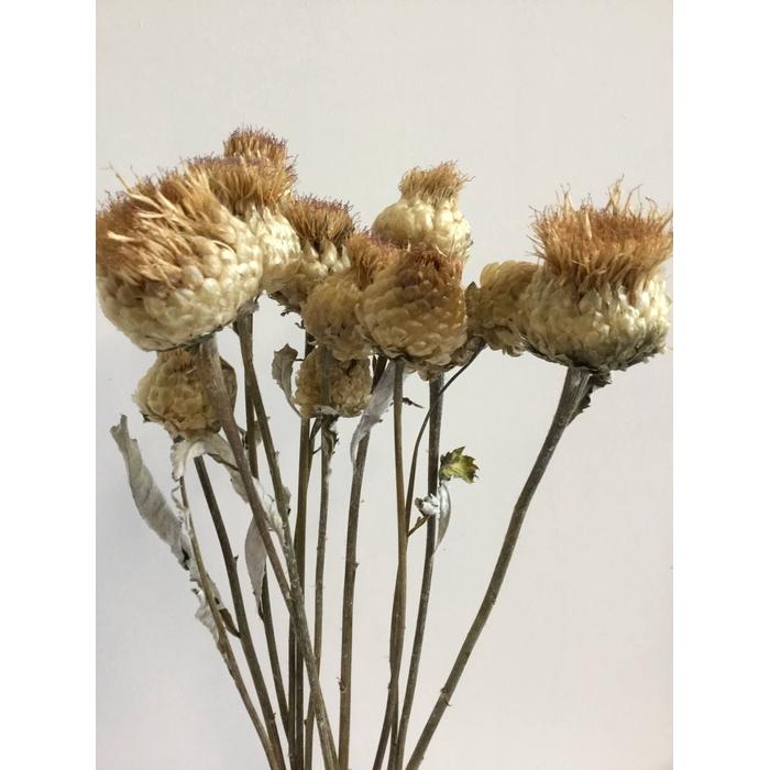 <h4>DRIED FLOWERS - CENTAUREA PULCHRA MAJOR 70CM 10PCS</h4>