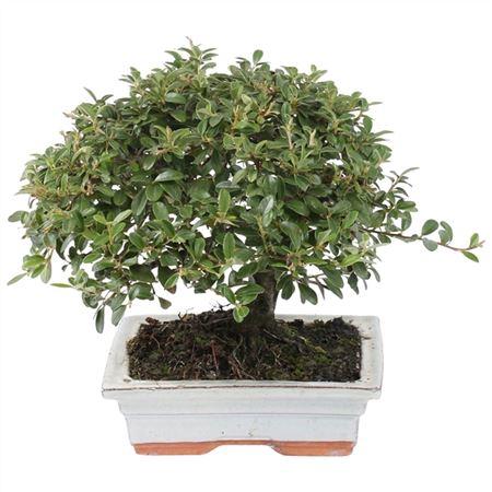 <h4>Bonsai A7201000co Cotoneaster Keramiek</h4>