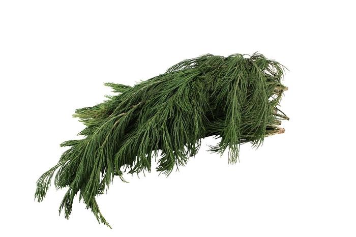 <h4>Cypresse Mammoettree</h4>