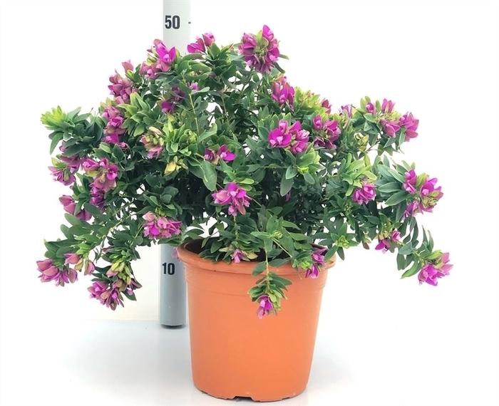 <h4>Polygala myrtifolia</h4>