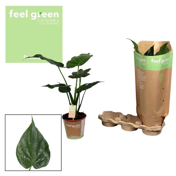 <h4>Alocasia Cucullata Feel Green</h4>