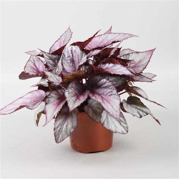 <h4>Begonia Beleaf Maori Haze</h4>