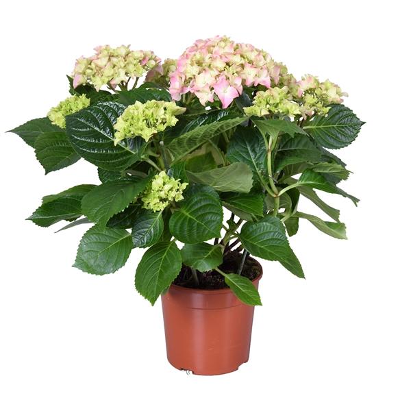 <h4>Hydrangea macr. Early Rosa</h4>