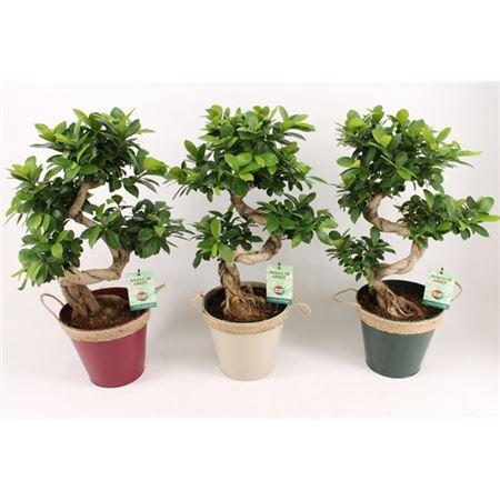 <h4>Ficus Mi Ginseng Zink Winters Met Touw</h4>