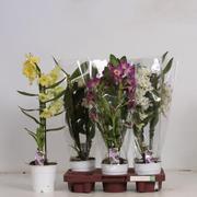 <h4>Dendrobium Nobile</h4>