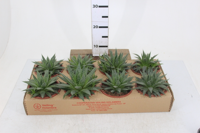 ALOE ARISTATA C13