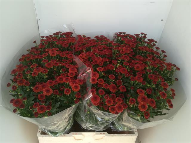 <h4>Chrysanthemum (Indicum Grp) tros santini Tammy Red</h4>