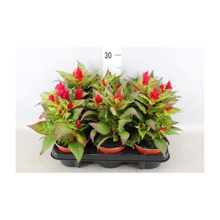 <h4>Celosia arg. PL 'Kelos Fire Red'</h4>