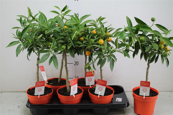 <h4>Citrus Kumquat Stam</h4>