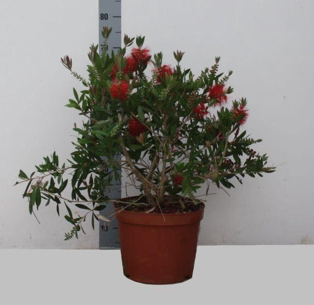 <h4>Callistemon citrinus</h4>
