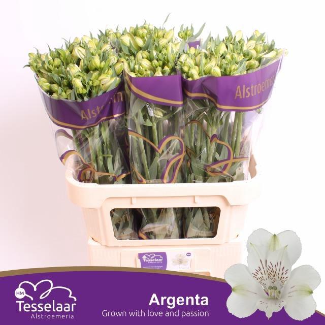 <h4>Alstroemeria Argenta</h4>